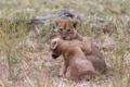 Картинка трава, кошки, игра, пара, львята, детёныши