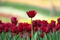 Картинка цветы, фон, тюльпаны, розмытость
