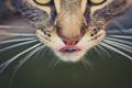 Картинка язык, глаза, кот, усы, фон