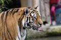 Картинка язык, кошка, тигр, амурский