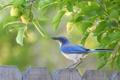 Картинка природа, птица, забор, scrub jay