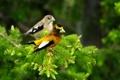 Картинка птицы, две, кедр